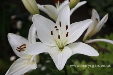 Lily 3