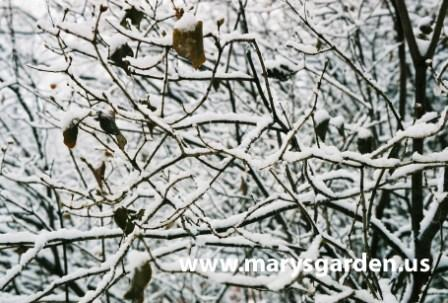 Winter lilac branches