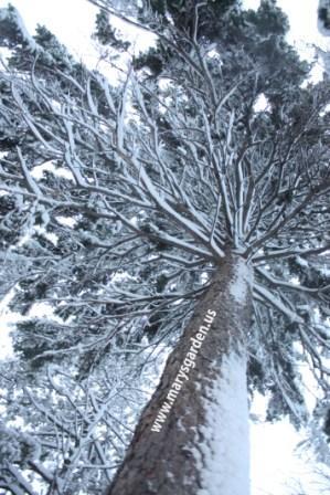 Winter pine 2