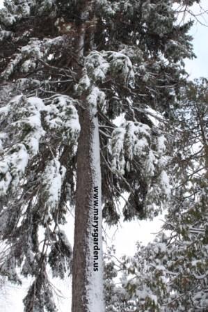 Winter pine 4